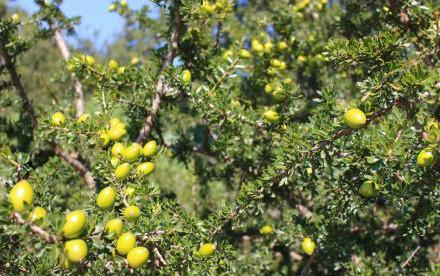 《阿甘正传》中的阿甘,是一种叫做argan的植物,它的果实看起来像橄榄