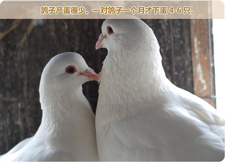 家有良田优选鸽子养殖新鲜营养蛋20枚五谷杂粮纯粮养殖禽蛋生态小鳄鱼的喂养图片
