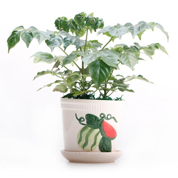 可爱室内小植物 幸福树小盆栽 办公室书房卧室绿植 护眼植物