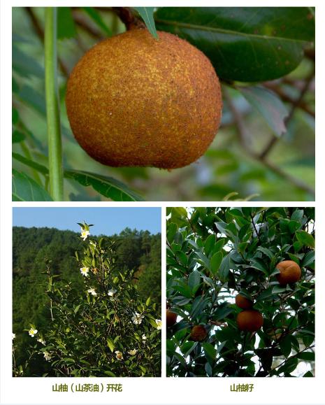 山柚树是一种常绿灌木或小乔木
