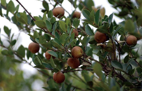 特产海南山柚油澄迈加乐镇250ml自榨农家山茶油食用美容护肤包邮