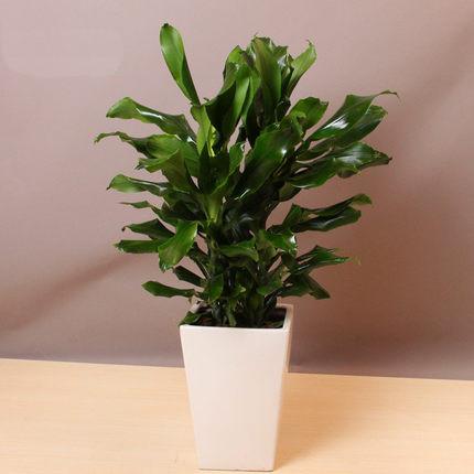 螺纹铁盆栽 中型植物花卉办公室绿化盆景