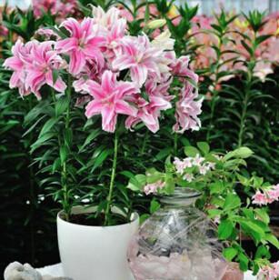 百合/荷兰进口 三色 盆栽百合大种球 百合花球 秋冬种