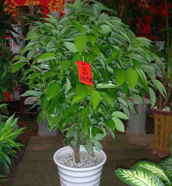 平安树 大型绿植室内盆栽植物花卉