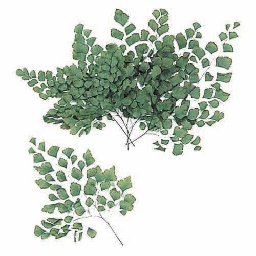 绿色植物-蕨类 - florever永生花