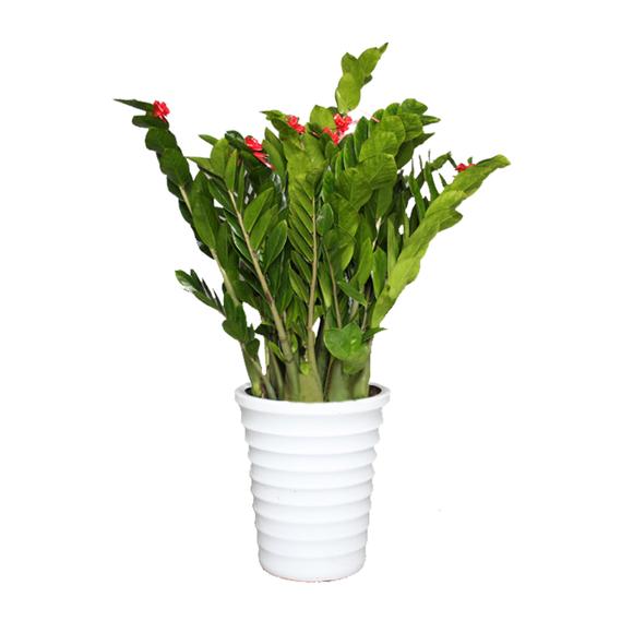 金钱树盆栽 室内植物乔迁开业送礼盆景 花卉 绿植 被北京配送