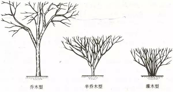 乔木手绘线稿图