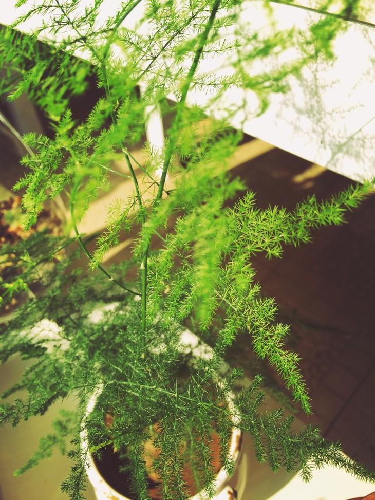 其身后保险柜上摆放着一盆文竹,此竹应有些年龄.这简直不是竹而是藤!