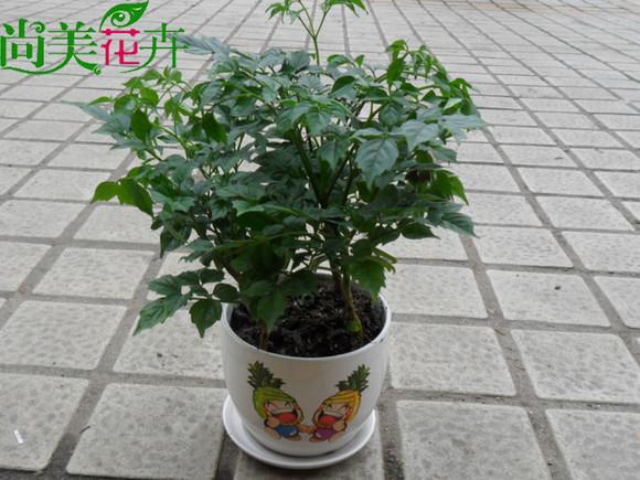 爆款幸福树-富贵树绿色植物办公室绿植花卉室内小盆栽