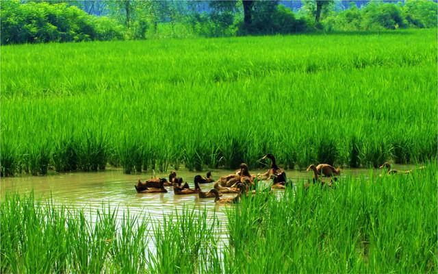 天然稻田鸭蛋·传统泥浆工艺古法腌制,香醇微咸,蛋白图片