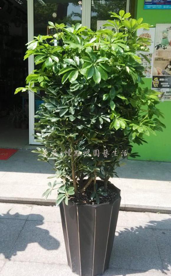 鸭脚木(中型)办公室花卉盆栽开业送礼室内植物净化空气吸甲醛绿植