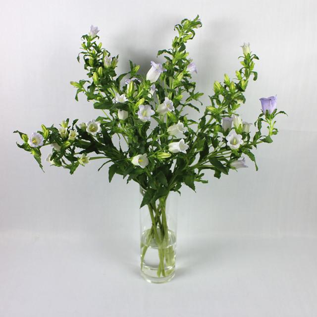 风铃草 - 蜗牛先生鲜花店