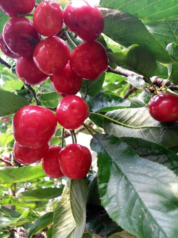 水果樱桃清新头像