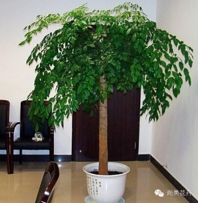 幸福树是一种很好的观叶类大型盆栽植物,一般情况下在室内养殖,比如