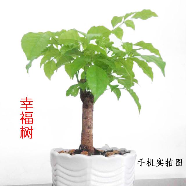 幸福树 室内盆栽
