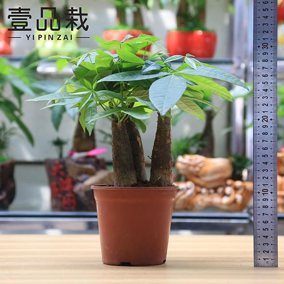 微信发财植物头像