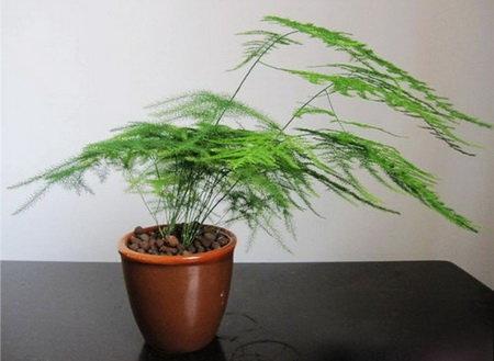 家庭养花 常见花卉绿植 文竹 的养殖方法 养花种菜自留地 爱微帮