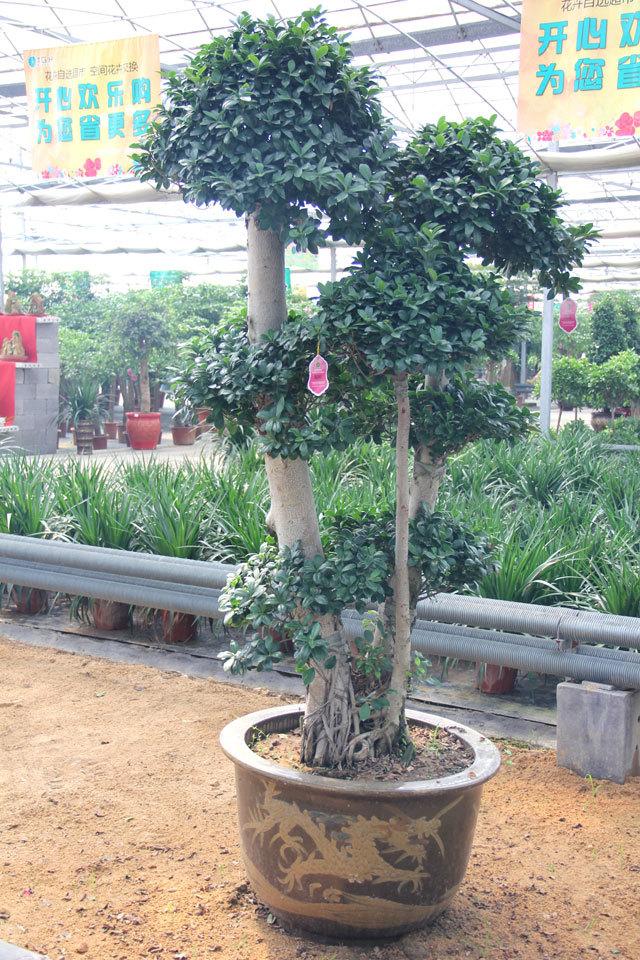 榕树可被制作成盆景,装饰庭院,卧室.亦可作为孤植树观赏之用.