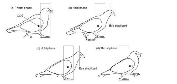 鸽子怎么画步骤