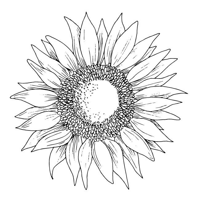 三头向日葵