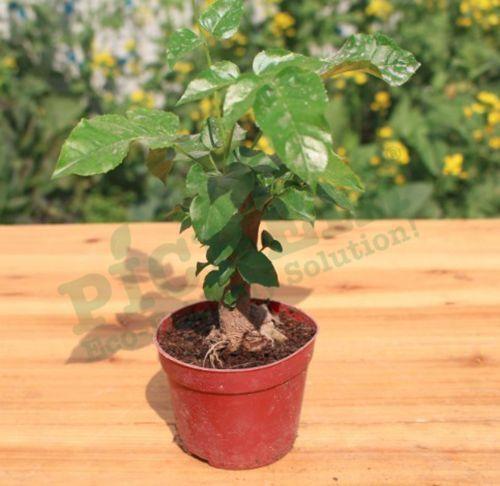 根系 绿宝 小盆栽 办公室桌面小植物 绿色植物 净化空气