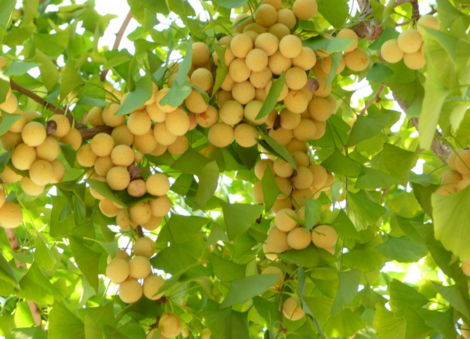 银杏树的果实俗称白果,因此银杏又名白果树.