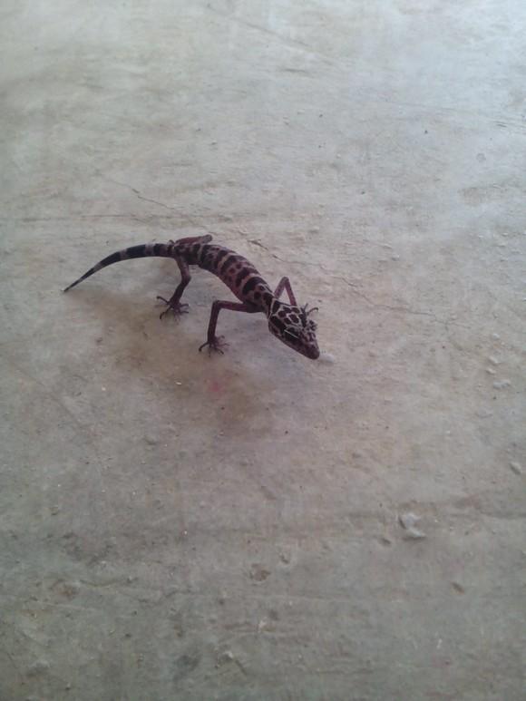 蜥蜴宠物 - 乐豆百货