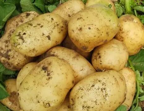 马铃薯块淀粉粒手绘图