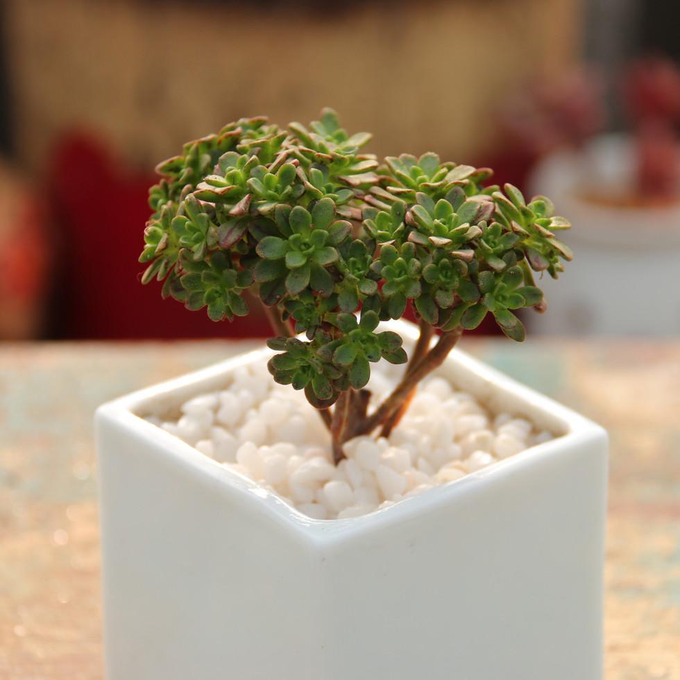 多肉植物 日本小松 小人祭(比图片小)