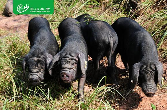 动物猪图片牧场