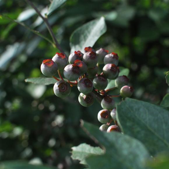 【特价预售】有机篮梅新鲜水果园现采现发货野生蓝莓500g