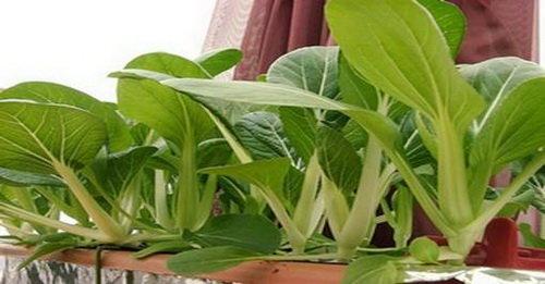 阳台种菜『小白菜』(白菜,青菜,油白菜)的种植方法