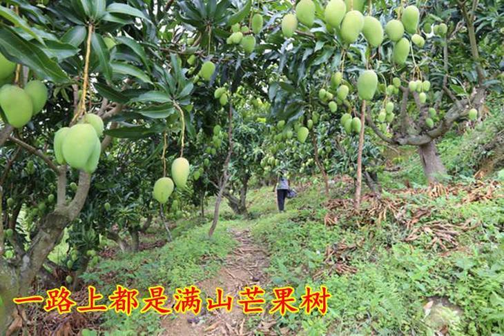 站在树枝下,明显能感觉到树枝给沉甸甸的芒果压得摇摇欲坠.