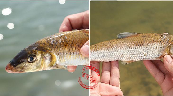 千岛湖有机鱼 野生竹鱼 纯天然鲜活水产 野生鱼 千岛湖特色直供