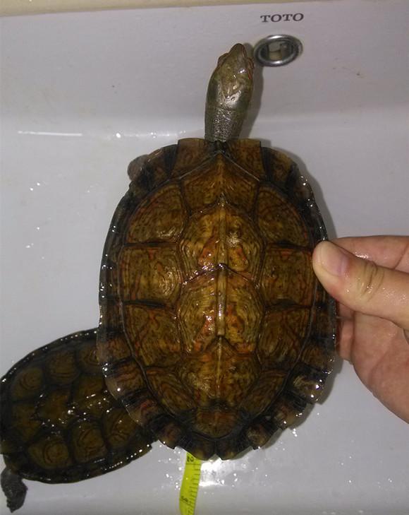 龟活体:洪都拉斯木纹龟