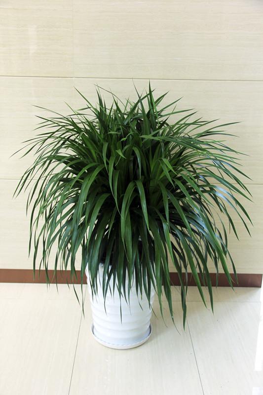 龙须树 室内植物
